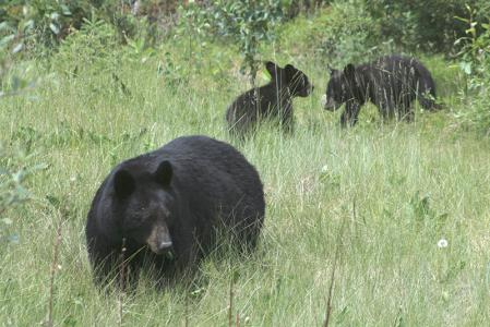 10 157d-black-bear--cubs